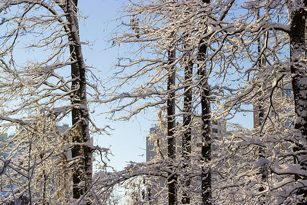 branches and trunks of deciduous trees covered with snow - stockwerke des waldes stock-fotos und bilder