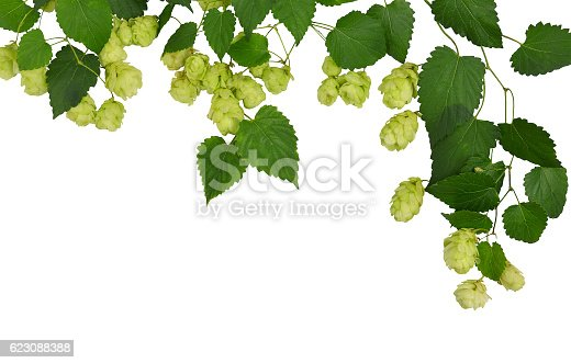 istock Branches hop with leaves isolated on white background without shadows. 623088388