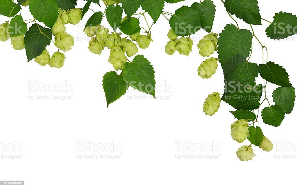 Branches hop with leaves isolated on white background without shadows. stock photo