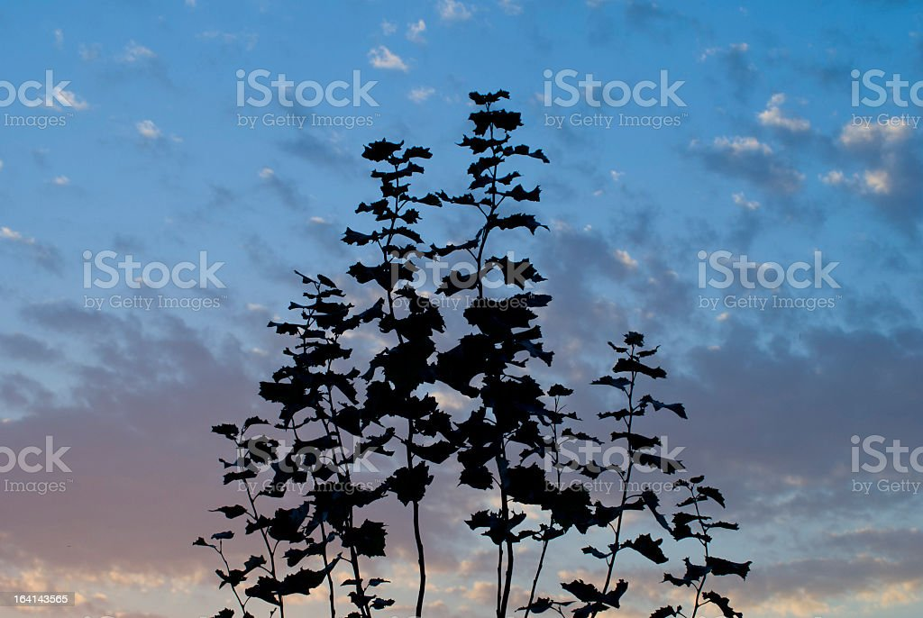 Branches in Sunset silhouette royalty-free stock photo