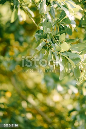 Branches, leaves and berries bay leaf on the tree. High quality photo