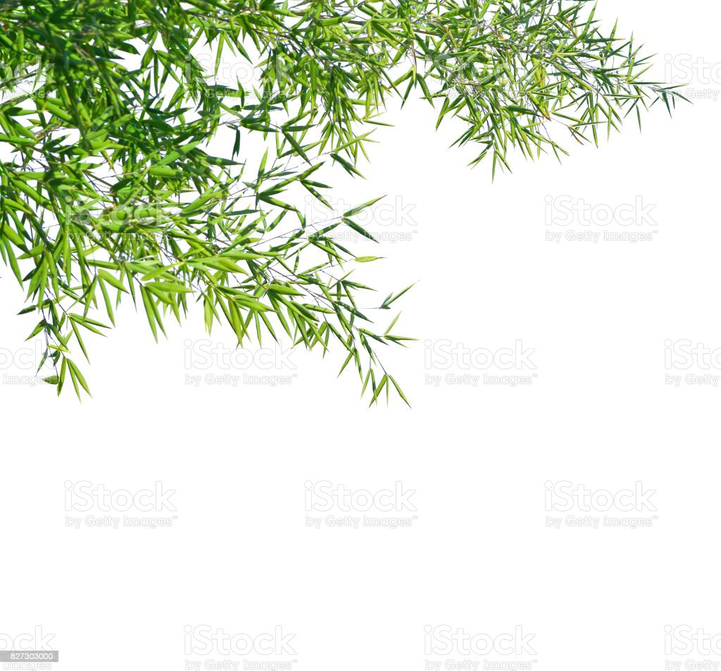 Branches of a bamboo isolated on white background. Selective focus stock photo