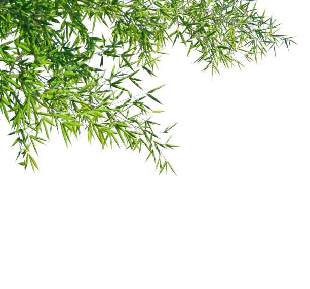 Branches de bambou isolé sur fond blanc. Mise au point sélective - Photo