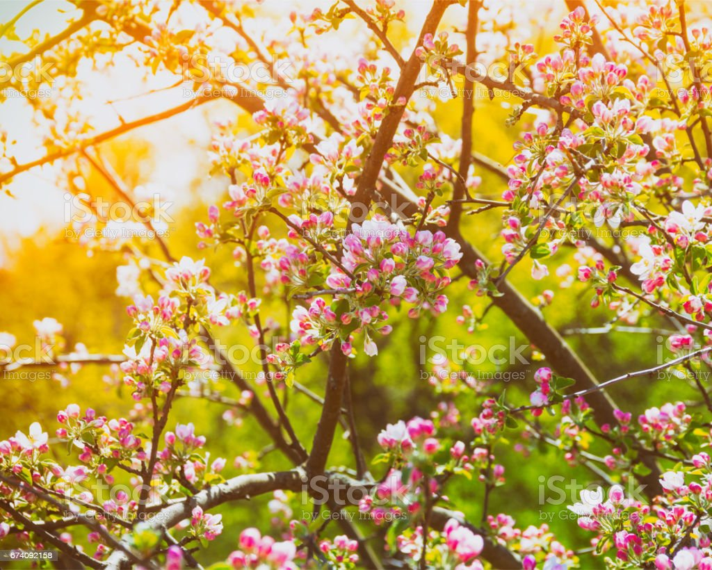 Branches of a blossoming apple tree in the golden rays of the sun, toning a photo royalty-free stock photo