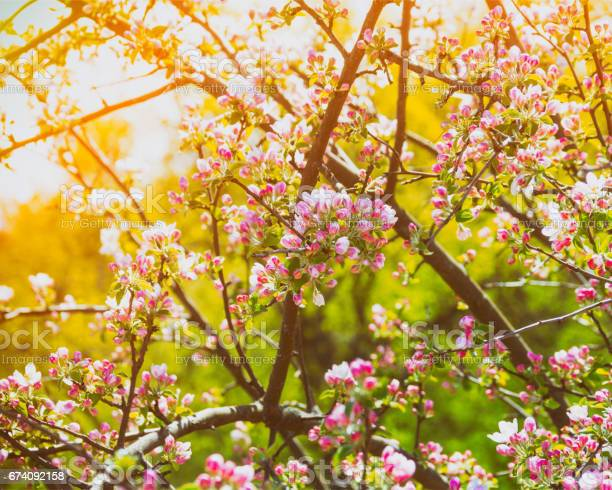 Photo of Branches of a blossoming apple tree in the golden rays of the sun, toning a photo