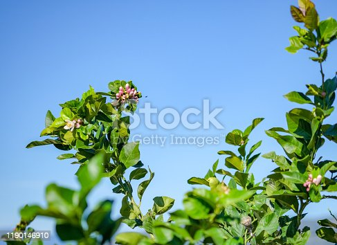 1145102719 istock photo Branches of a blossoming lemon tree with green unripe fruits 1190146910