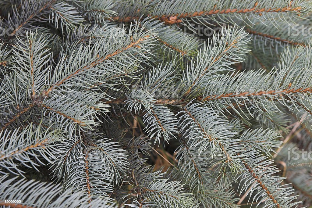 Branches of a blue spruce royalty-free stock photo