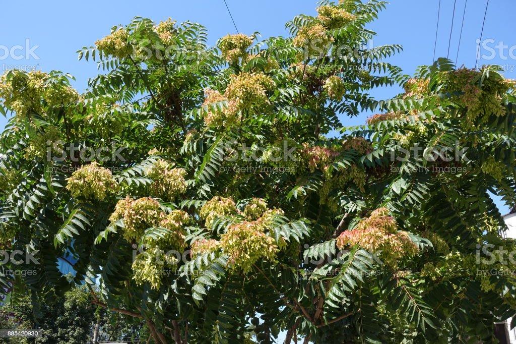 Zweige der GГ¶tterbaum Altissima gegen den Himmel – Foto