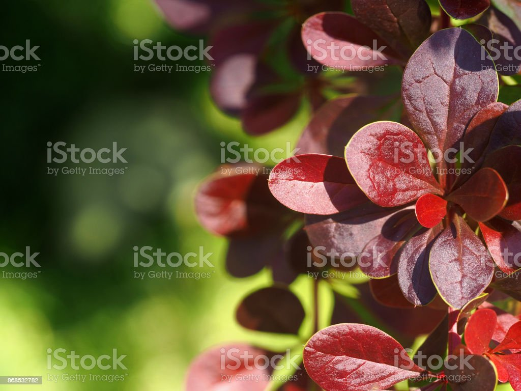 Branches of barberry with red leaves illuminated by the sun. Natural summer background. Berberis thunbergii, Atropurpurea, Bagatelle stock photo