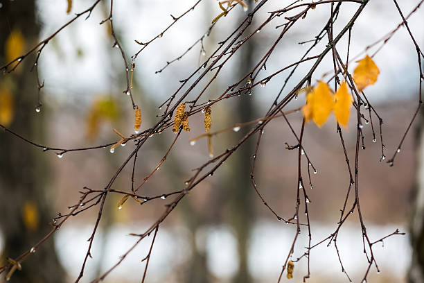 Branches of birch with earrings in raindrops in late autumn. stock photo