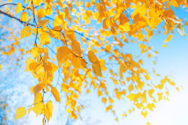 Branches of  birch with yellow leaves in autumn park. stock photo