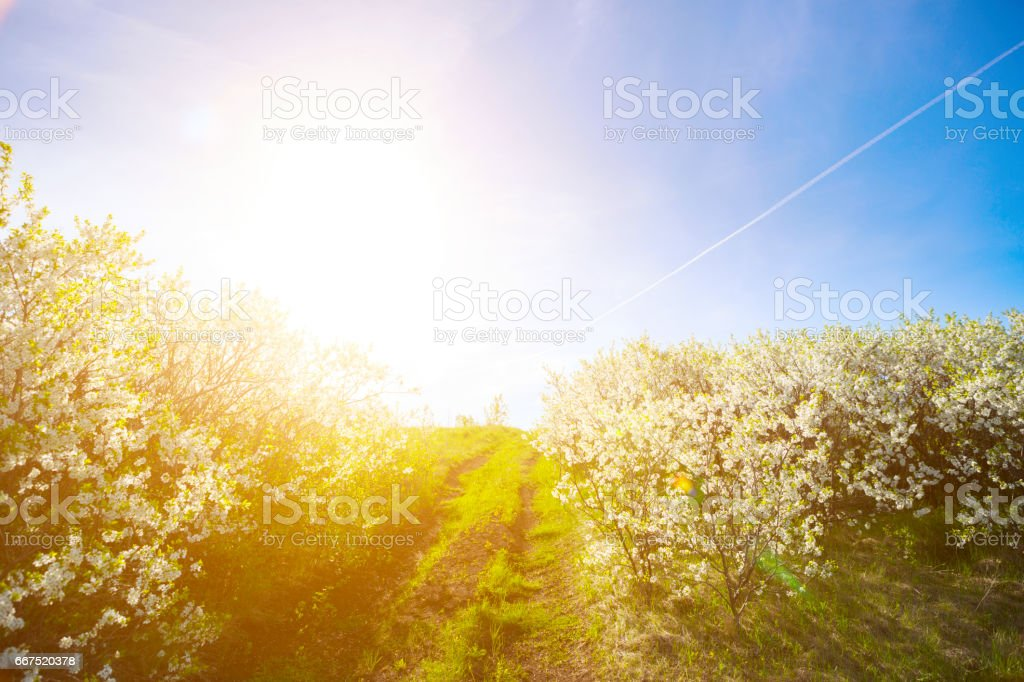 Branches of blooming cherry tree with many flowers over blue sky. Country road. foto stock royalty-free