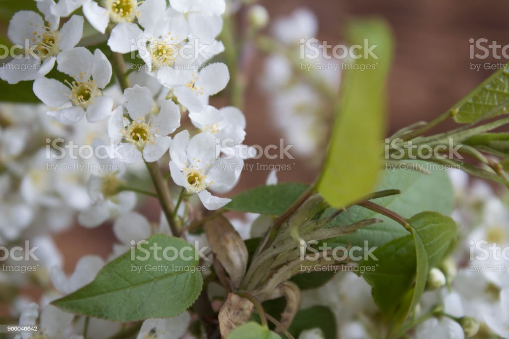 Branches of blossoming bird-cherry (Prunus padus). - Royalty-free Beauty Stock Photo