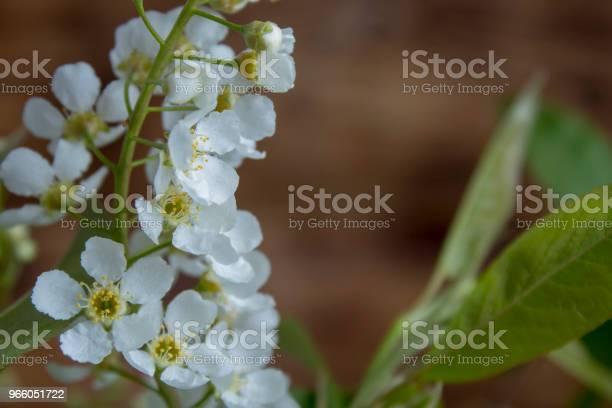Branches Of Blossoming Birdcherry — стоковые фотографии и другие картинки Без людей