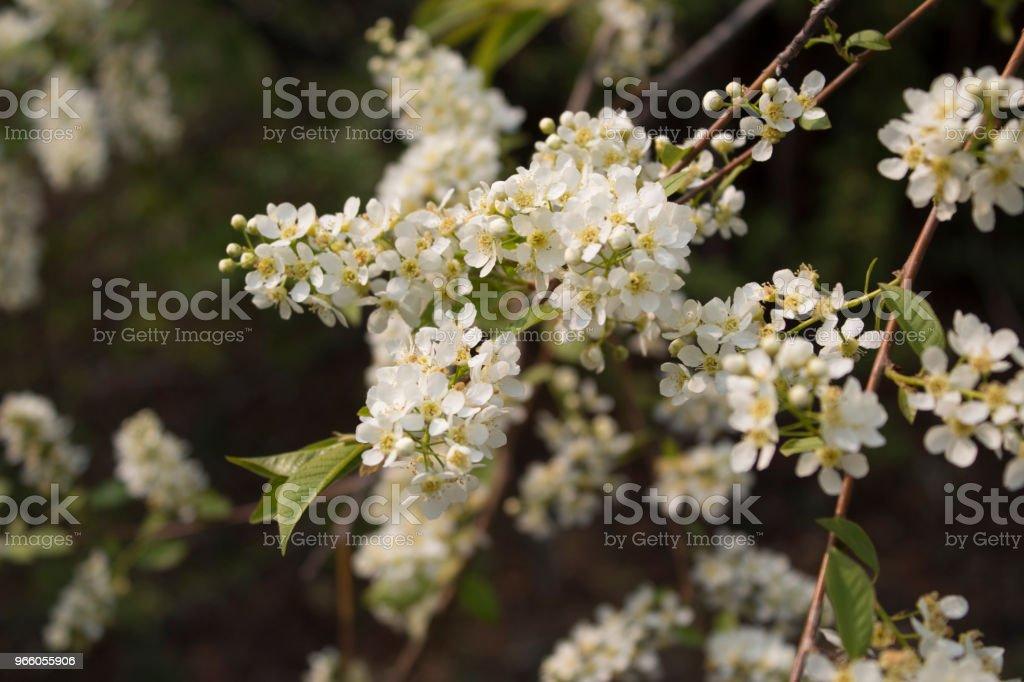 Grenar av blommande fågel-körsbär (Prunus padus) - Royaltyfri Blomkorg - Blomdel Bildbanksbilder