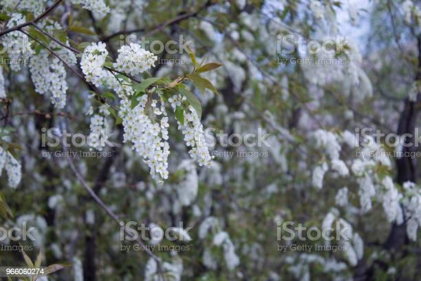 Grenar Av Blommande Fågelkörsbär-foton och fler bilder på Blomkorg - Blomdel