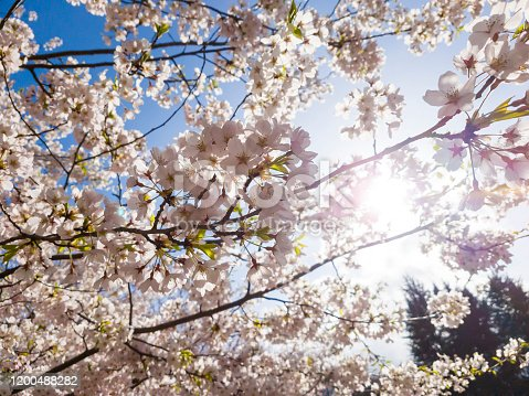 1135260918 istock photo Branches of blossoming cherry against background of blue sky and sun light in spring time on nature outdoors. Pink sakura flowers, dreamy romantic artistic image of spring nature, copy space. 1200488282