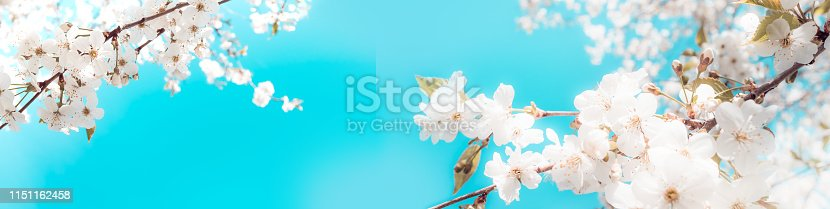 istock Branches of blossoming cherry on light blue sky background panoramic view 1151162458