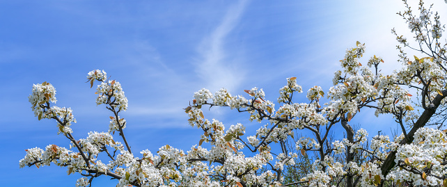 Branches of blossoming cherry on blue sky background in sunlight with copy space. Flowers of spring nature.