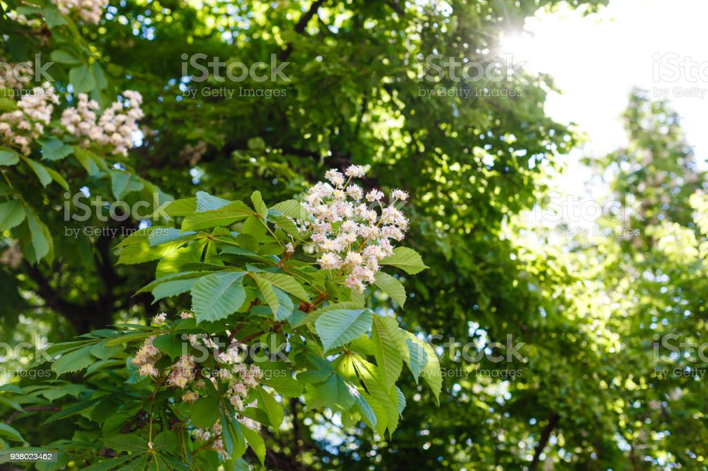 branches of blossoming chestnut tree with sun beams stock photo