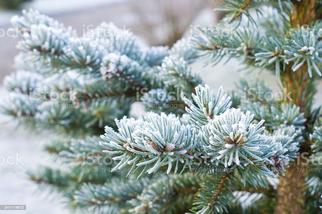 Branches of blue spruce is covered with frost stock photo