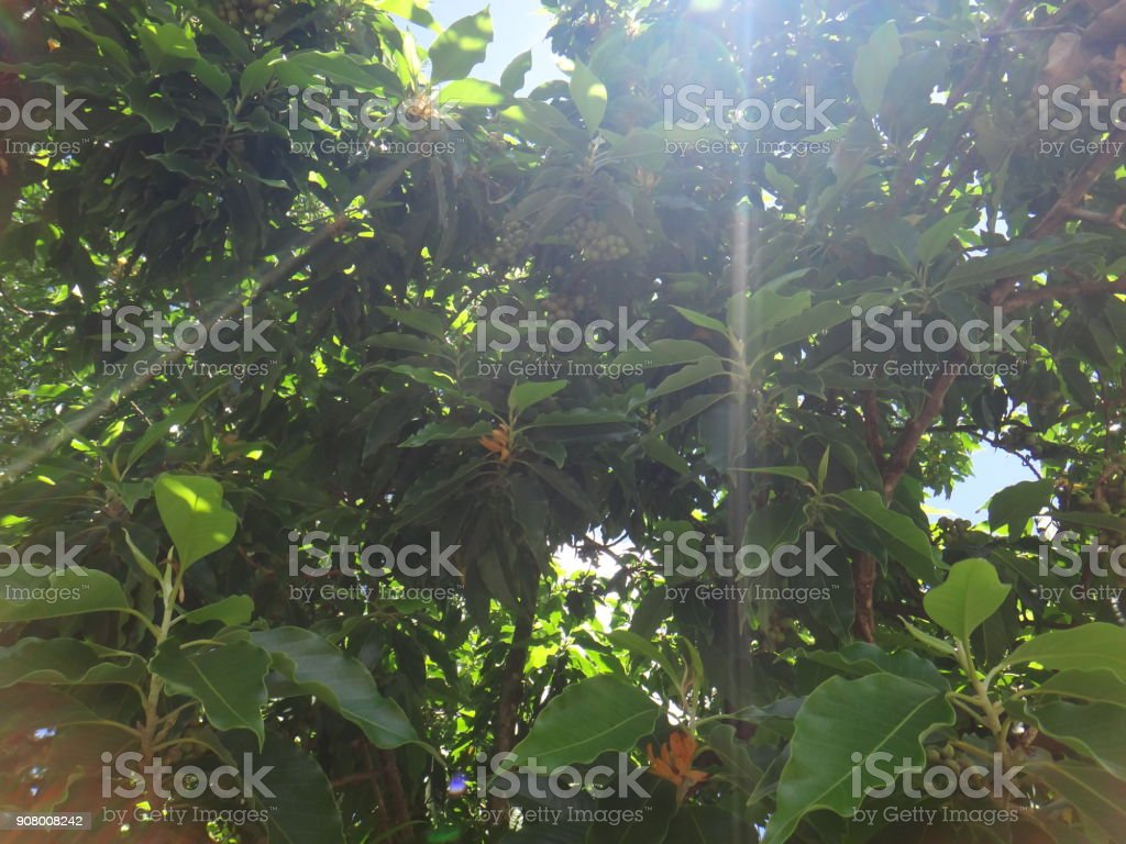 Branches of champak tree stock photo