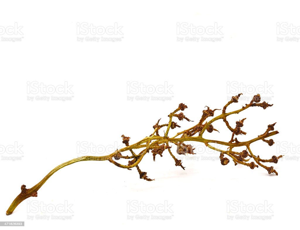 Branches of dried longan. royalty-free stock photo