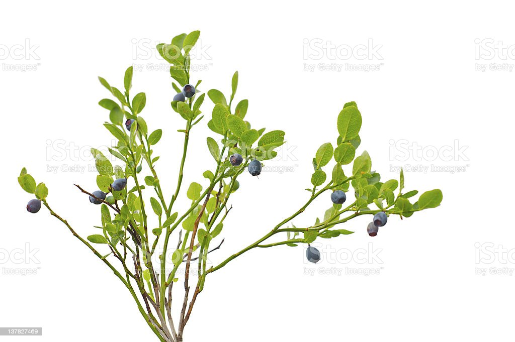 Branches of European blueberries (bilberry) with ripe berries stock photo