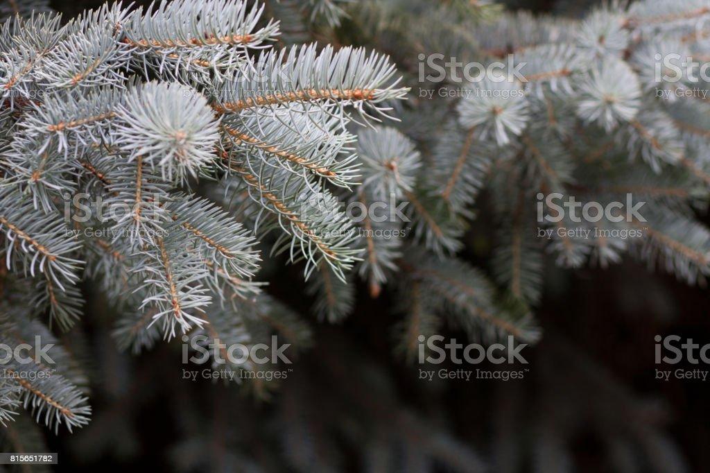 Weihnachtsbaum Ast.Zweige Von Immergrünen Weihnachtsbaum Blaue Weihnachten Fichte