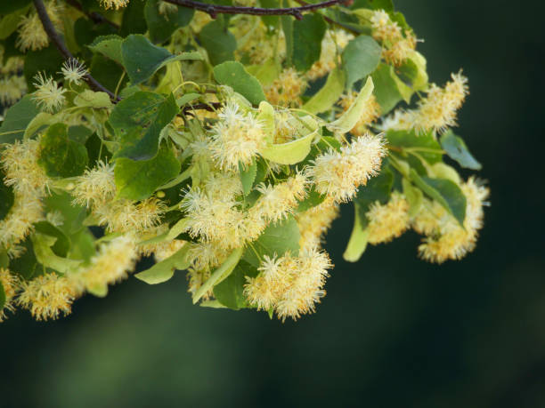 branches of flowering linden stock photo
