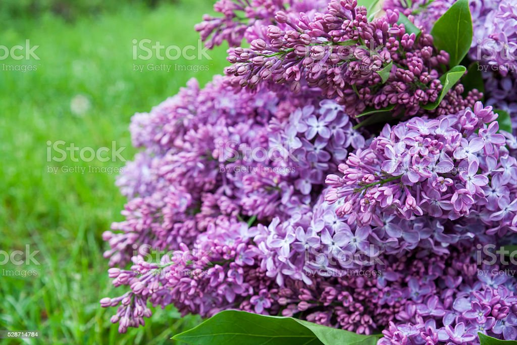 Branches of flowering purple lilac syringa royalty-free stock photo