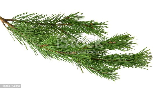 Branches of fragrant pine, isolated on white background without shadow. Close-up. Christmas. New Year. Nature in details.
