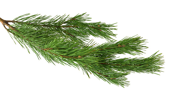 Branches of fragrant pine, isolated on white