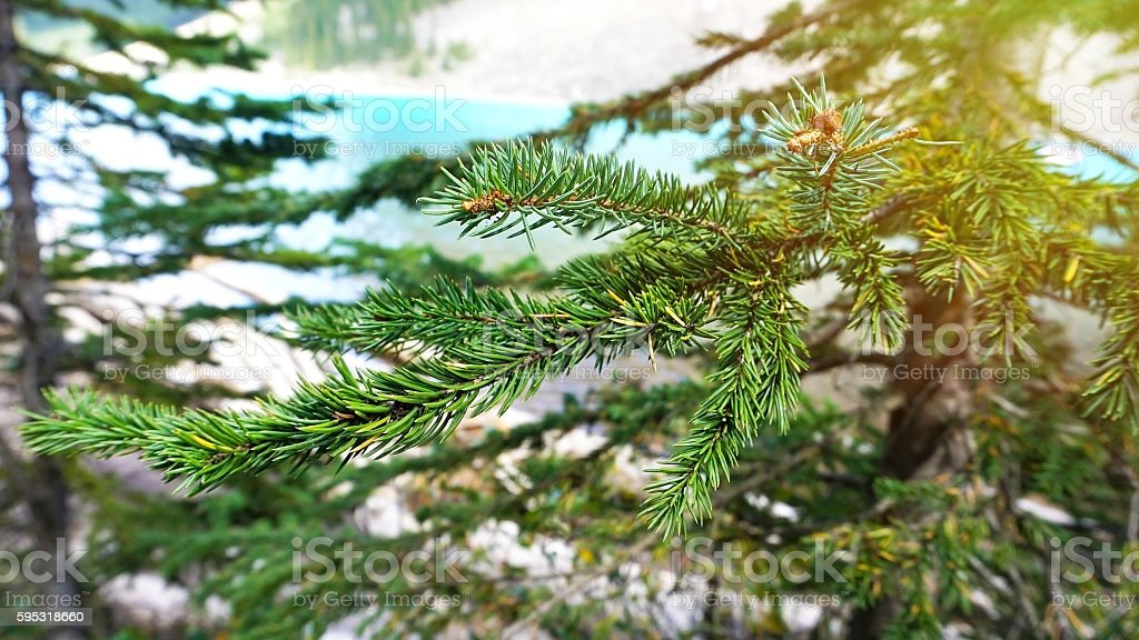 Branches of green fir-tree on blur blue lake background stock photo