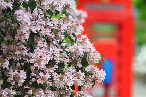 Graceful arching branches of kolkwitzia amabilis with pale pink blossom. Blurry red english  telephon box in background.