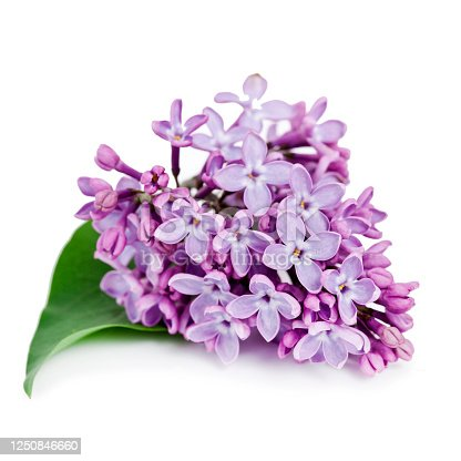 Blossoming branch of lilac (Syringa vulgaris). Violet flowers isolated on a white background.