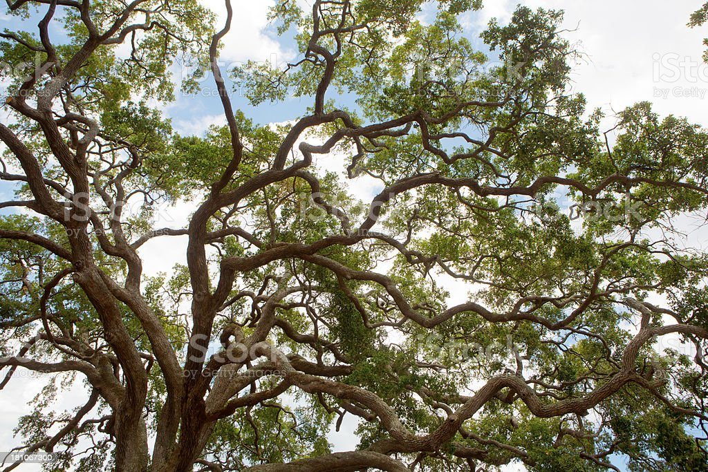 \'Branches of live oak tree.St Simons Island, Brunswick, Georgia\'