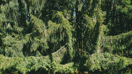 Branches of mighty conifers