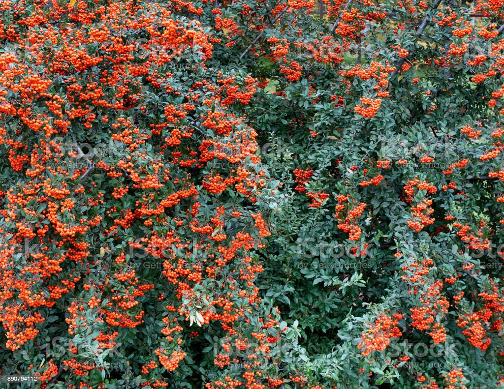 Branches of mountain ash with bright orange berries on a background of green leaves stock photo