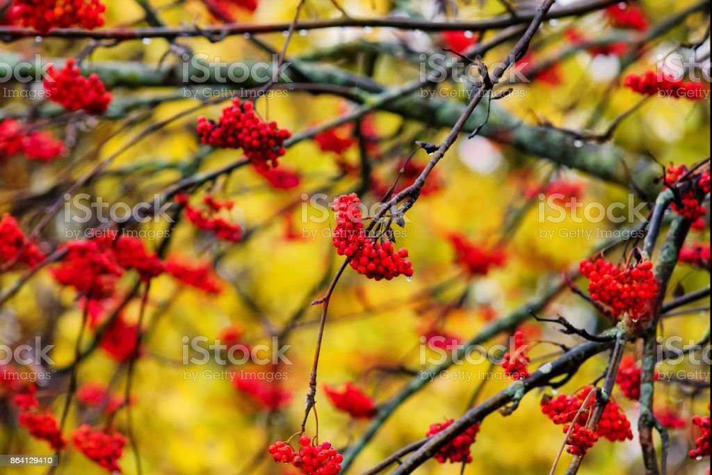 Branches of mountain ash with red berries. Autumn. Background. royalty-free stock photo