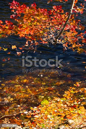 Branch of a red maple, Acer rubrum, with colorful fall foliage bends to the Farmington River in Canton, Connecticut.