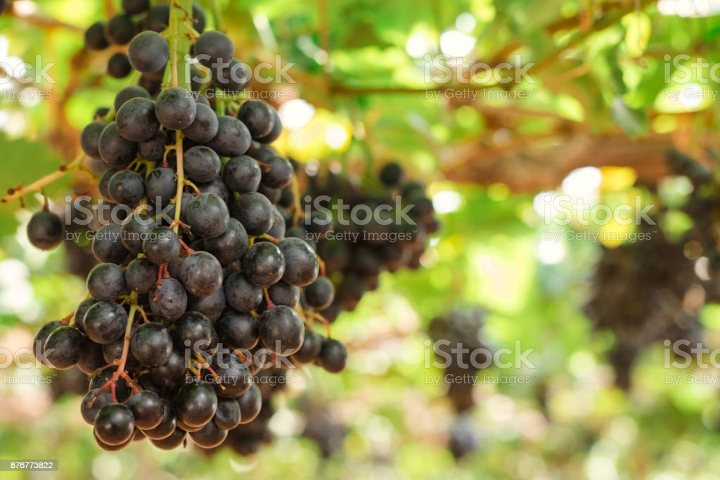 Branches of red wine grapes growing in Italian fields. Close up view of fresh red wine grape in Italy. Vineyard view with big red grape growing. Ripe grape growing at wine fields. Natural grapevine stock photo
