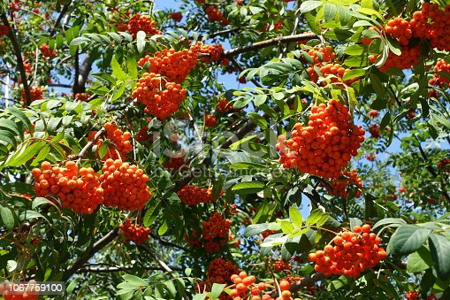 istock Branches of rowan with green leaves and reddish orange fruits against blue sky 1067759100