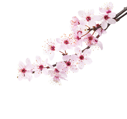 Branches of Sakura isolated on white background.