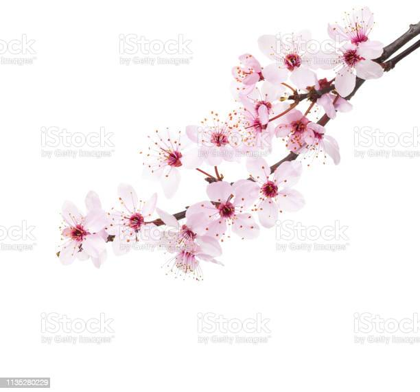 Branches of sakura isolated on white background picture id1135280229?b=1&k=6&m=1135280229&s=612x612&h=zuga40ls1vfo9phbwzyeujhidzdiarxkggmnseagp3g=