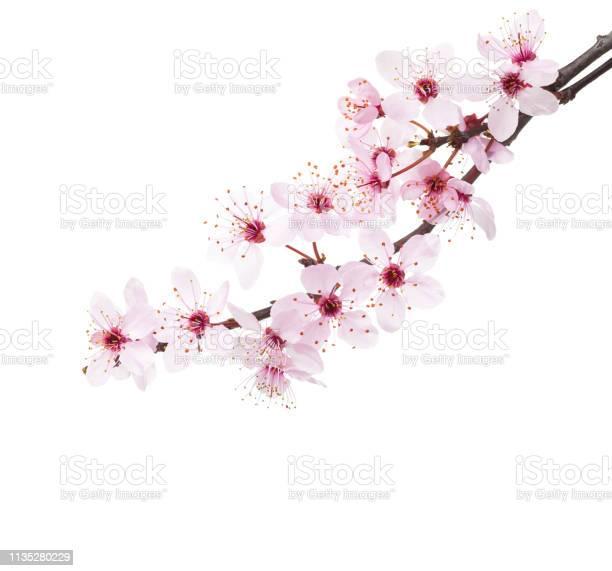 Photo of Branches of Sakura isolated on white background.