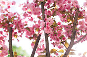 Branches of Sakura tree in a sunlight. Amazing pink cherry blossoms. Selective focus.