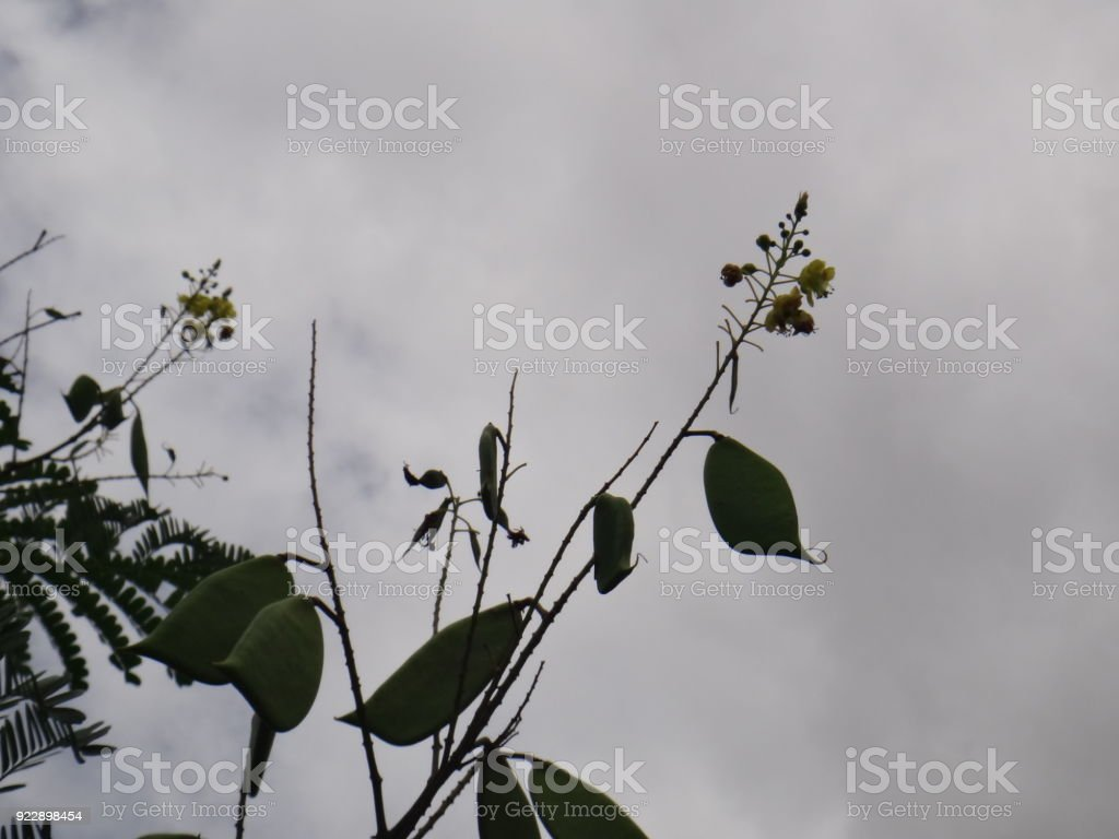 Branches of sappanwood with immature pod and inflorescence - Yellow flower stock photo