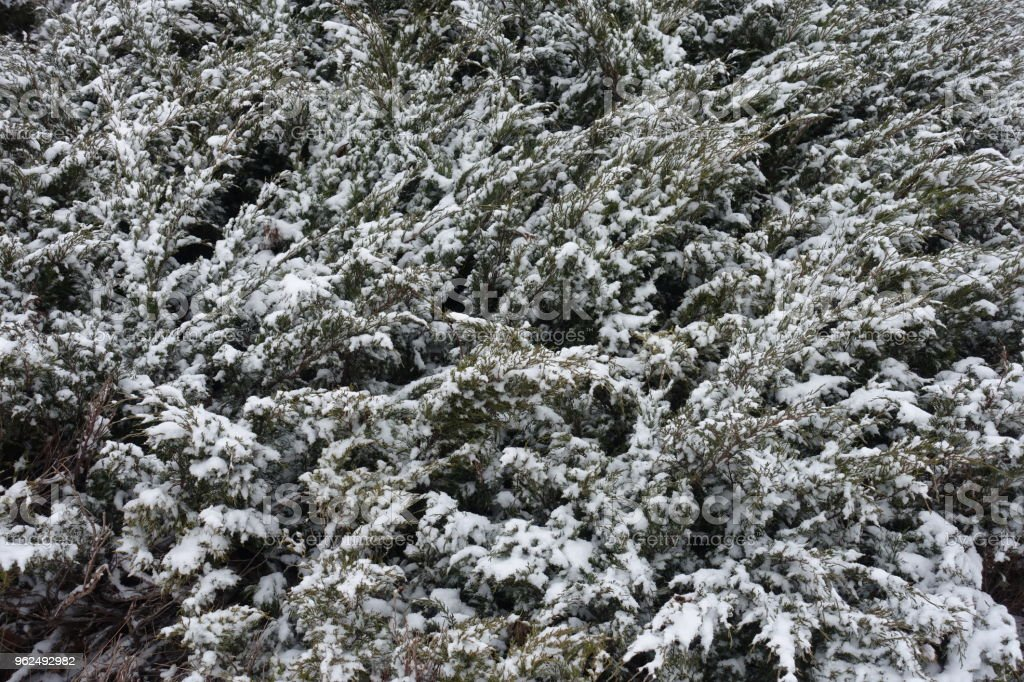 Branches of savin juniper covered with snow in winter - Royalty-free Backgrounds Stock Photo