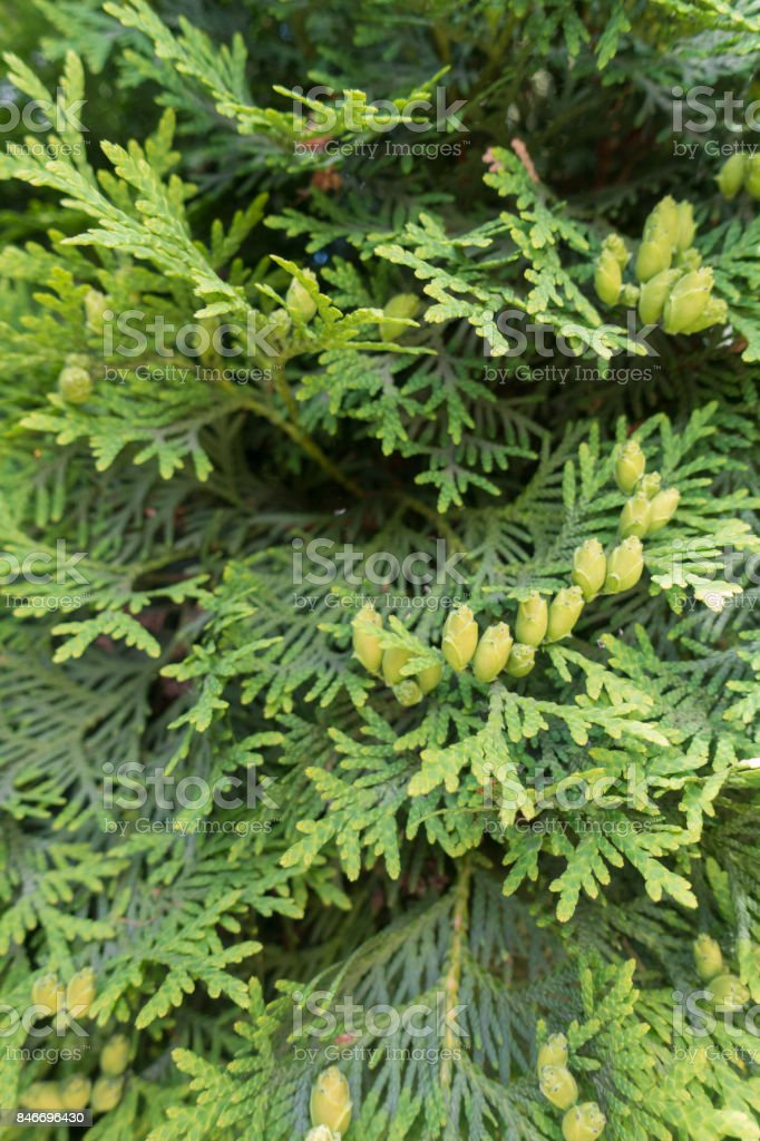 Branches of swamp cedar with seed cones stock photo